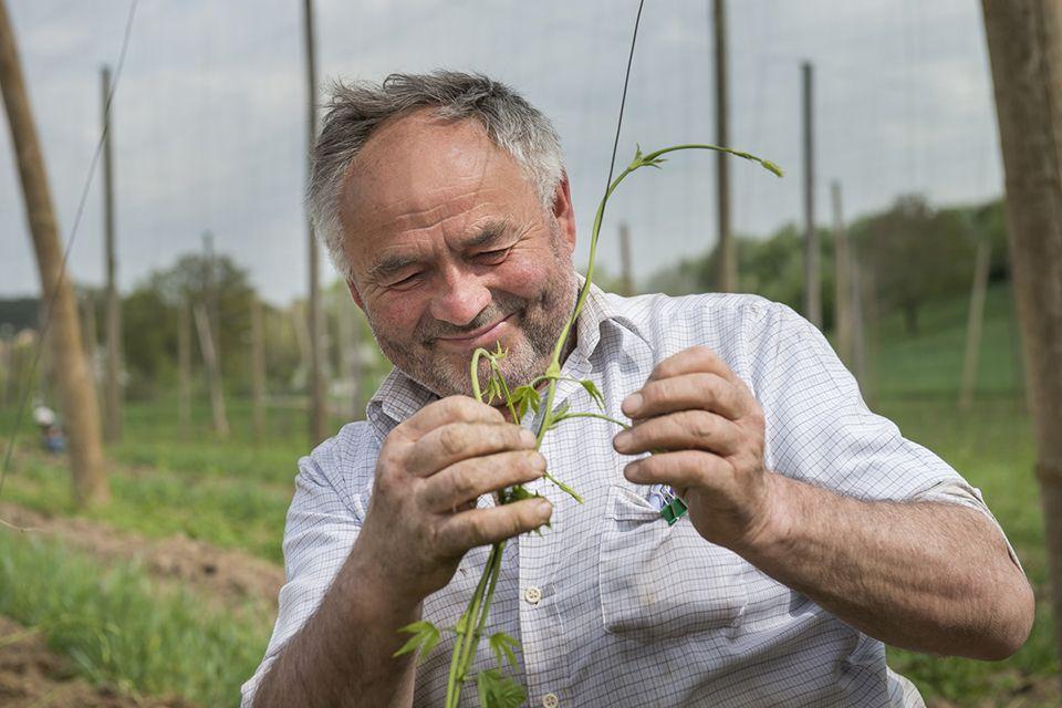 Hopfenbauer im Hopfenfeld beim anleiten der jungen Hopfenpflanze