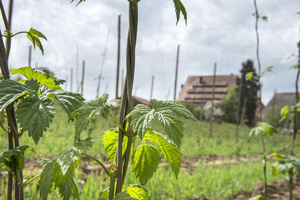 Hopfenfeld im Vordergrund junge Spalter-Spalter opfenpflanzen im Hintergrund Hopfenbauernhof
